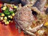 Crab photoed by diver in Sardinia