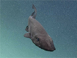 Deep Sea Shark