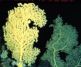 Gerardia coral. Credit: OAR/National Undersea Research Program (NURP)