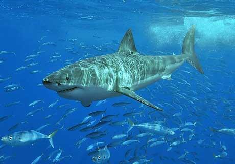 White Shark,