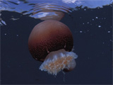 Oft-Overlooked Jellyfisheries Are Too Big to Ignore