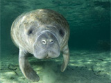 71 Manatees killed in Florida in 2016