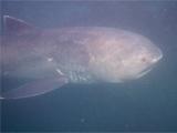 Divers free rare megamouth shark from fishing net