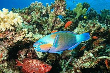 Parrotfish and reef