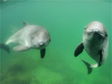 Porpoises plan their dives and can set their heart rate to match