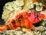 New Species of Scorpion Fish found in Curacao