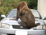 http://hsunews.com/2016/12/29/seal-relocated-after-terrorizing-australian-town/