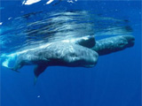 Sperm Whales Bring New Lingo to the Galapagos