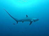 Sharks can live a lot longer than researchers realised