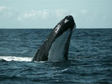 Whales turn tail at ocean mining noise
