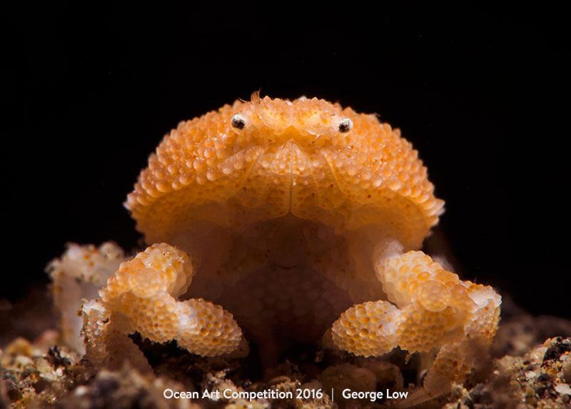 "Honorable Mention Supermacro George Low""Pearl Granular Crab"""