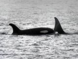 Several species of Killer Whale, scientist say