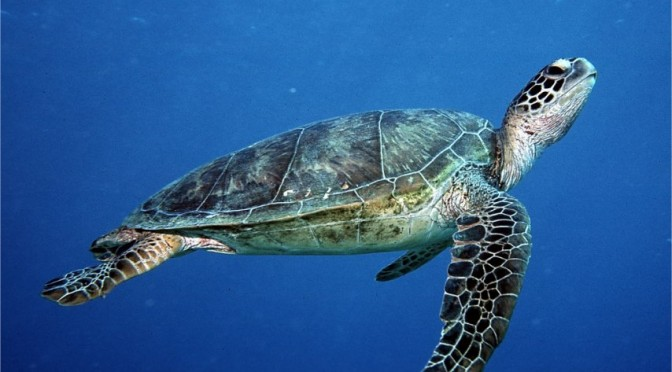 42,000 Turtles legally killed each year