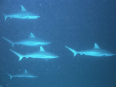 Sharks in the Pacific
