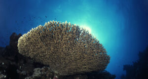 Acropora Table Coral. Photo credit: Tim Nicholson.