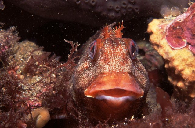 Creature of the Month is the Charming Tompot Blenny