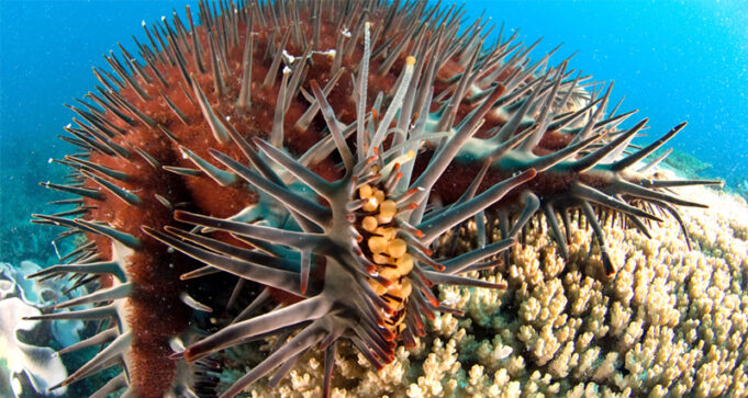 Crown of thorns starfish, COTS