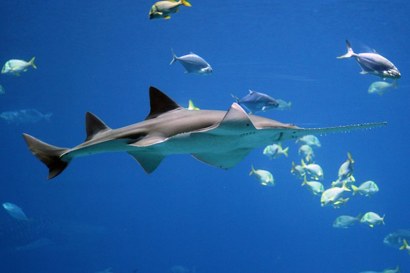 Extinction Threatens Quarter of Sharks and Rays
