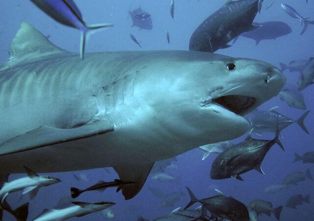 Shark feed - Tiger Shark