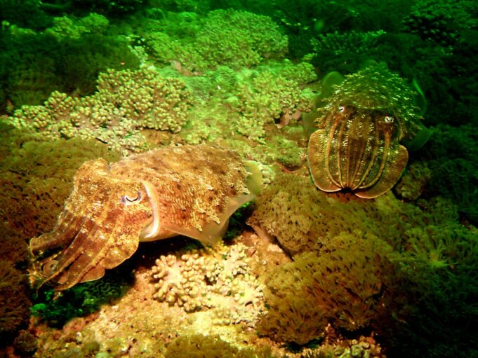 Cuttlefish and Camouflage