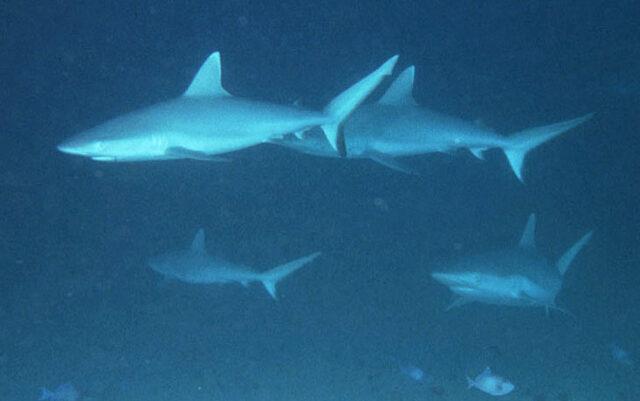 Grey Reef Shark, Carcharhinus amblyrhynchos