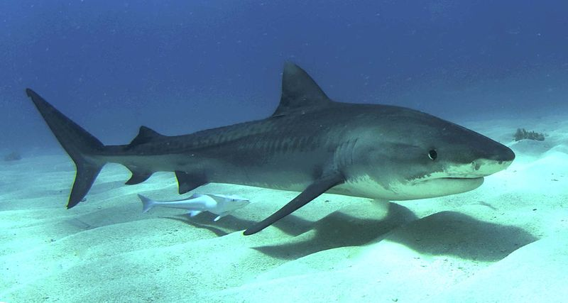 Little Support for Shark Culling