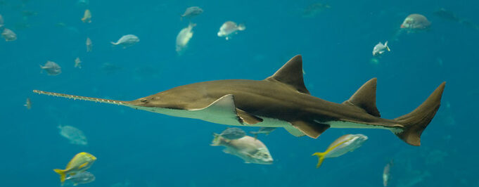 Endangered Sawfish Strategy Launched