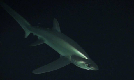 Bigeye thresher shark (Alopias superciliosus)