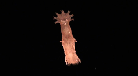 Sea Cucumber Elasipodida