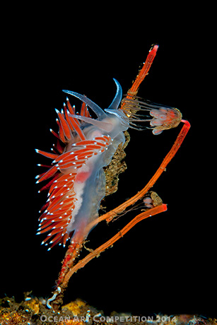 Nudibranch: Flabelina nobilis by Luc Rooman