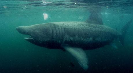 Basking shark in European waters by Tim Nicholson