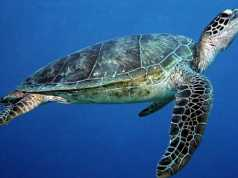 Green Turtle, Chelonia mydas.
