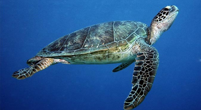 Warming seas stop turtles basking
