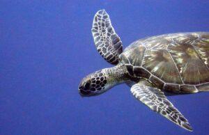 Loggerhead Turtle, Caretta caretta