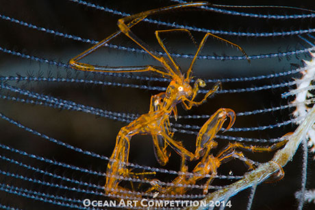 Skeleton shrimp taken at Tulambem by Digant Desai
