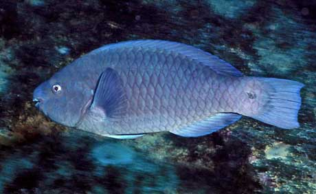 Greenbeak Parrotfish appear on Brazil's recently released threatened species lists