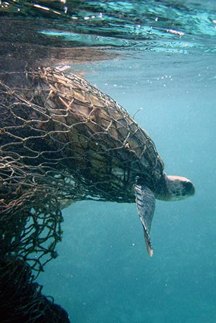 Turtle trapped in ghost fishing gear