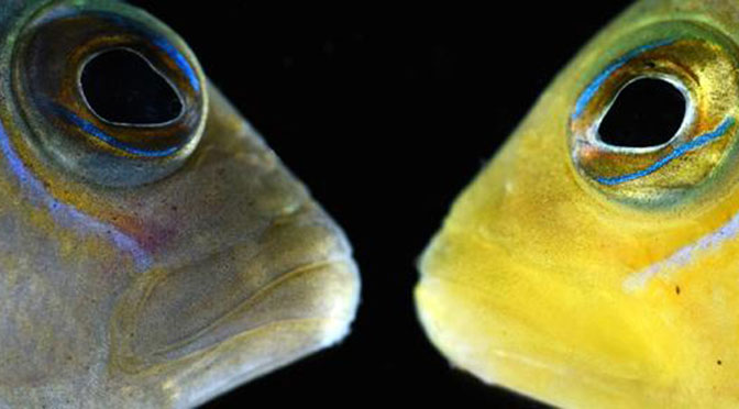 A new study by researchers at the University of Cambridge has shown that the dottyback, a small predatory reef fish, can change the colour of its body to imitate a variety of other reef fish species, allowing the dottyback to sneak up undetected and eat their young. Its Latin name, Pseudochromis, means false damselfish - giving clue to its mimicry abilities.