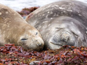 Southern Elephant Seal (Mirounga leonina) by David Cook