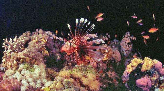 The Beautiful but Deadly Lionfish is the Creature of the Month