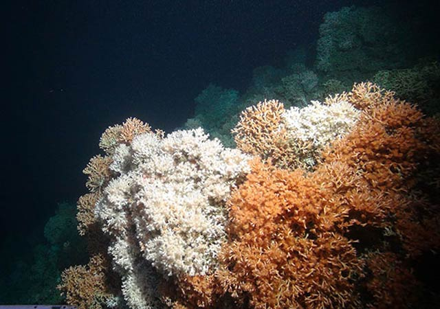Rich cold-water coral reef in the Whittard Canyon area by the Isis ROV