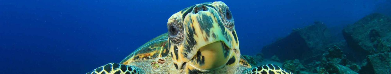 hawksbill turtle articles