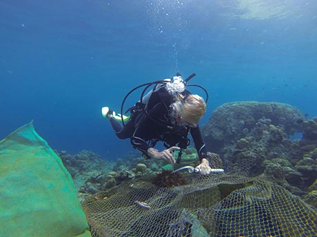 Diver injects crown-of-thorns starfish with vinegar in cull