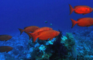 Removing top predators, like sharks and groupers, doesn't help smaller reef fish. Photo is of Big Eye by Tim Nicholson