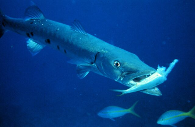 Great barracuda, Sphyraena barracuda