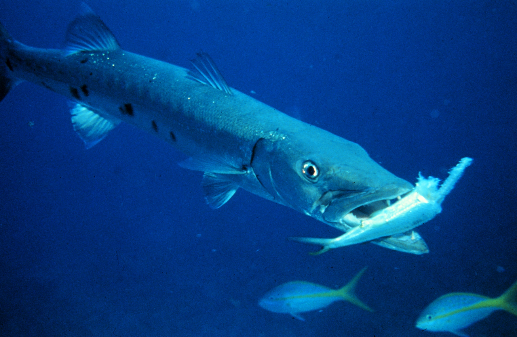 The fast and deadly great barracuda is creature of the for What do fish see