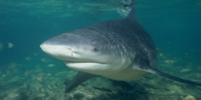 Bull Shark, Carcharhinus leucas