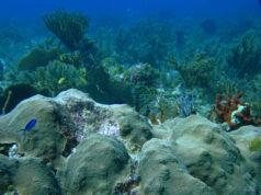 Orbicella faveolata coral by Verena Schoepf
