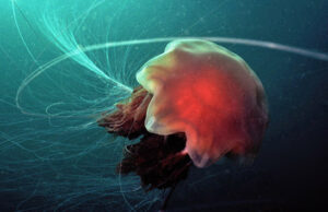 Lion's Mane Jellyfish by Tim Nicholson