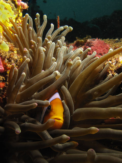 Clownfish in Djibouti by Tim Nicholson